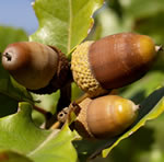 quercus robur acorns